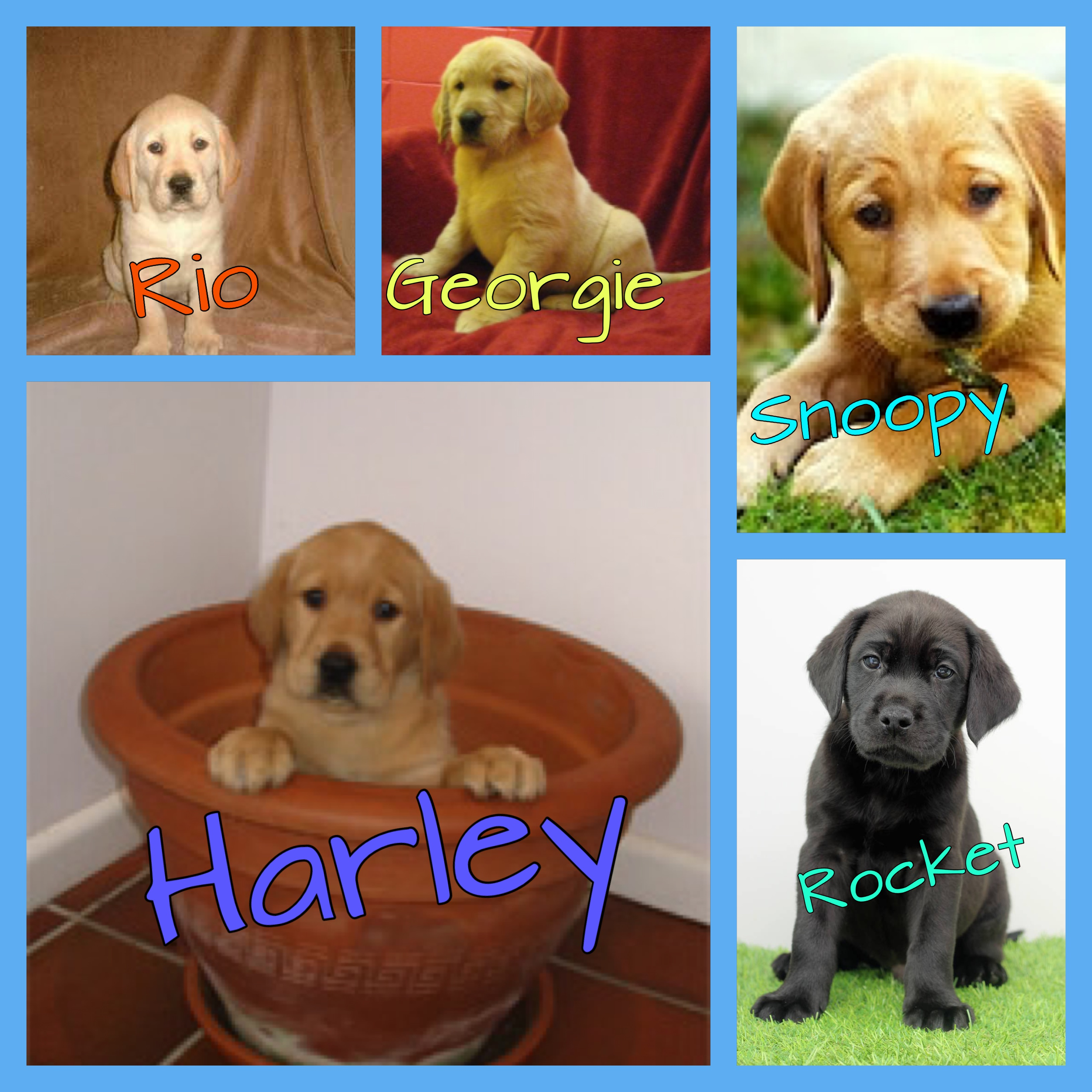 5 guide dog puppies supported by contactlenses.co.uk